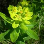 Euphorbia gibelliana